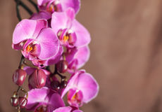 Orchid on brown Stock Photography