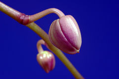 Orchid bud Royalty Free Stock Photography