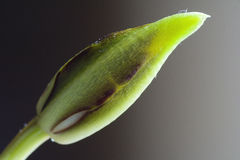 Orchid bud Royalty Free Stock Images