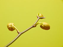 Orchid buds Stock Photo