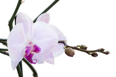 Orchid buds. Orchid has not blossoming buds Royalty Free Stock Image