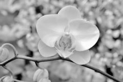 Orchid with buds on stem. Macro closeup of phalaenopsis orchid flowers  on black black and white royalty free stock photos