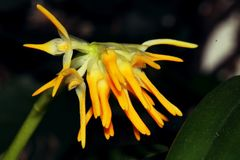 Close-up of a very smell orchid flower. Orchid Bulbophilum odorantissimum stock images