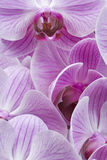 Orchid butterfly Royalty Free Stock Photos