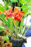 Orchid Cattleya Στοκ φωτογραφία με δικαίωμα ελεύθερης χρήσης