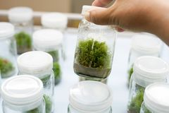 Orchid cell plant tissue culture Royalty Free Stock Images