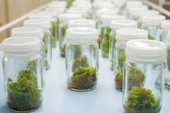 Orchid cell plant tissue culture Royalty Free Stock Photos