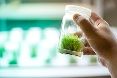 Orchid cell plant tissue culture Stock Image