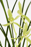 Orchid 'Chun Jian Su'. A famous variety of chinese orchid with light green flower Stock Photography