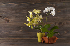 Orchid in clay pot over wooden background. Royalty Free Stock Photo