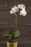 Orchid in clay pot over wooden background. Royalty Free Stock Image