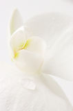 Orchid close-up Royalty Free Stock Photo