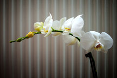 Orchid in close up Royalty Free Stock Photography