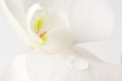 Free Orchid Close-up Royalty Free Stock Images - 37797959