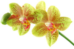 Orchid close-up Stock Photography