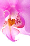 Orchid close up 5 Royalty Free Stock Photography