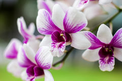 Orchid. Close up the Orchid flower Stock Photography