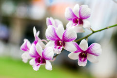 Orchid. Close up the Orchid flower Stock Image