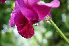 Orchid. Close-up orchid image, after raining Royalty Free Stock Photos