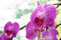Orchid. Close-up orchid image, after raining Royalty Free Stock Images