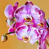 Orchid close up. Picture orchid branch flenopsis closeup Royalty Free Stock Photography