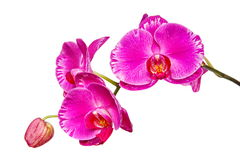 Orchid close up. Pink orchid isolated on white background Stock Images