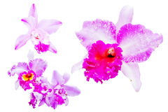 Orchid. Close up shot of Orchid flower on white background stock photography