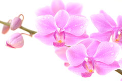 Orchid close-up on white background. A close-up of a pink orchid with water drops on its petals, isolated on white background Royalty Free Stock Image