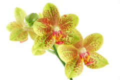 Orchid closeup Stock Image