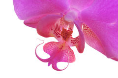 Orchid closeup. Close-up of a pink orchid over a background stock photography