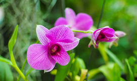 Orchid Closeup. Royalty Free Stock Image