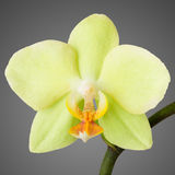 Orchid Closeup. Single yellow orchid bloom macro photo with extended depth of field Royalty Free Stock Photos