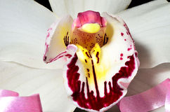 Orchid Closeup Royalty Free Stock Images