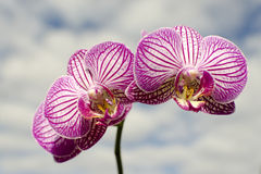 Orchid in the clouds. Pink orchid in the sky Royalty Free Stock Image