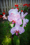 Orchid Cluster Plant Bloom Stock Photography