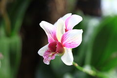 Orchid. Colorful orchid on blur background Royalty Free Stock Photo