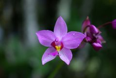 Orchid in Costa Rica Stock Photography