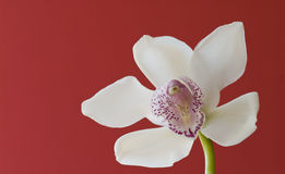 Orchid-Cymbidium Stock Photos