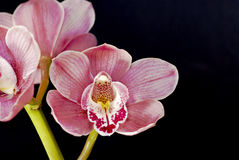 Orchid-Cymbidium Royalty Free Stock Images