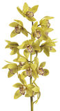 Orchid Cymbidium. Branch of Cymbidium yellow on white background Royalty Free Stock Photography