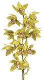 Orchid Cymbidium Royalty Free Stock Photography