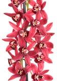Orchid cymbidium flower Royalty Free Stock Photography