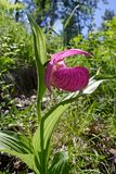 Orchid Cypripedium macranthum Stock Image