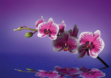 Orchid. 3D model over water. You can use for wallpaper on the wall or monitors Stock Photography