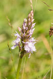 Orchid (Dactylorhiza maculata) Royalty Free Stock Images