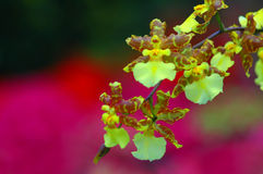 Orchid Dance. Dancing orchids with colorful background stock photos