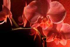Orchid dark Stock Photo