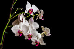 Orchid on dark background Royalty Free Stock Image