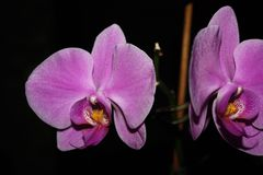 Orchid on dark background royalty free stock photography