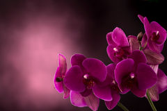 Orchid in dark blurred background Stock Photos